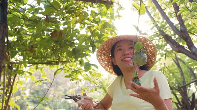 trädgårdsmästare asiatiska kvinna ta hand om passion fruktträd produceras på ekologiska gårdar. begreppet jordbruk utan kemikalier.4k slow motion. - passionsfrukt bildbanksvideor och videomaterial från bakom kulisserna