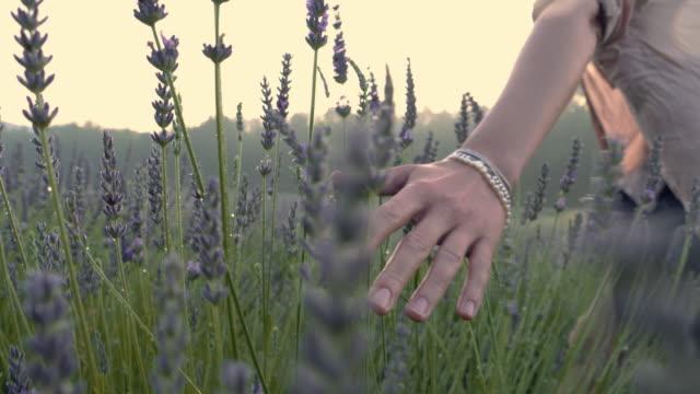 vídeos de stock e filmes b-roll de gardener caring for blooming lavender. soft touch - seguir atividade móvel