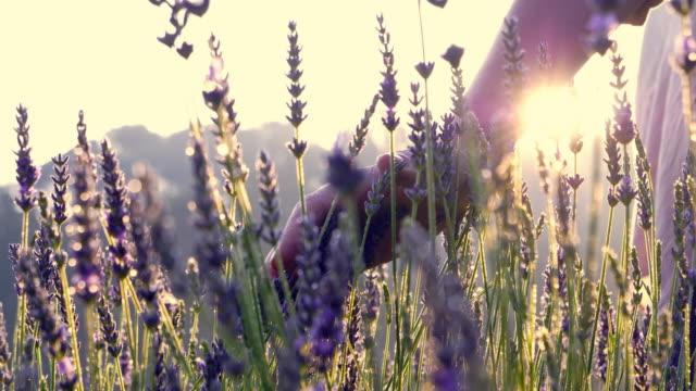 gardener caring for blooming lavender. soft touch - aiuola video stock e b–roll