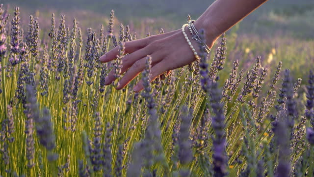 gardener caring for blooming lavender. soft touch - hobbies stock videos & royalty-free footage