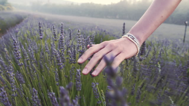 gardener caring for blooming lavender. soft touch - fragility stock videos & royalty-free footage