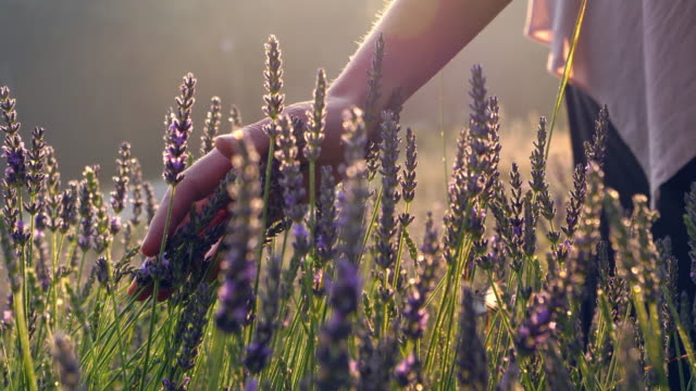 gardener caring for blooming lavender. soft touch - gardening stock videos & royalty-free footage