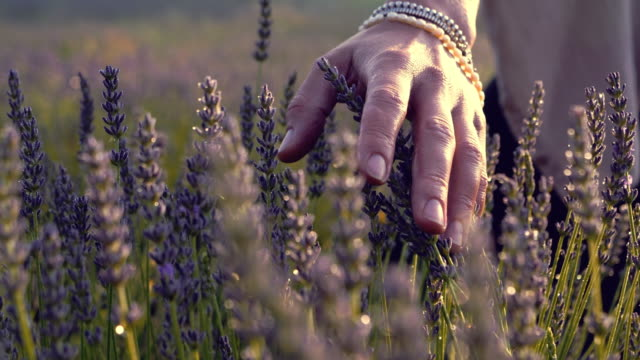 gardener caring for blooming lavender. soft touch - following stock videos & royalty-free footage