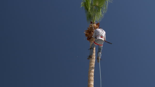 ms td pan gardener climbing down from tall palm tree after finishing tree trimming / rancho mirage, clifornia, united states - rancho mirage stock videos & royalty-free footage