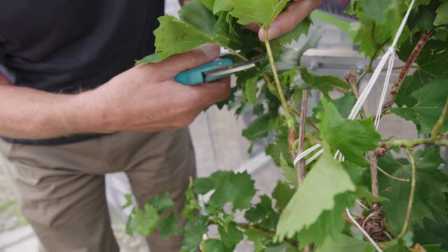 gardener cuts dry leaves of grape vine - pruning shears stock videos and b-roll footage