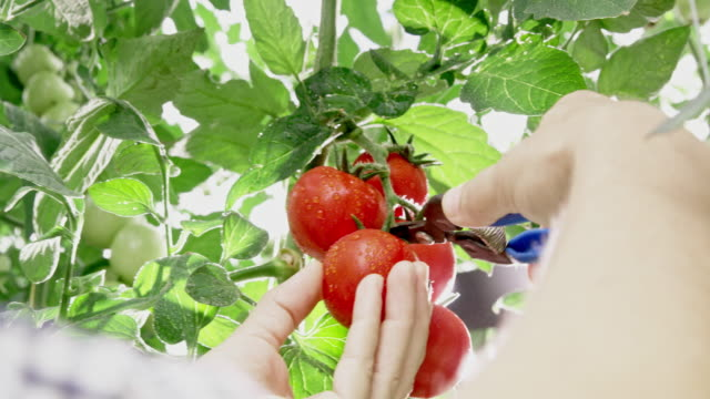ms gardener cutting a tomato off a plant - pruning shears stock videos & royalty-free footage