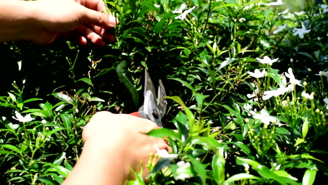 Gardener cutting branch of tree with Pruning shears