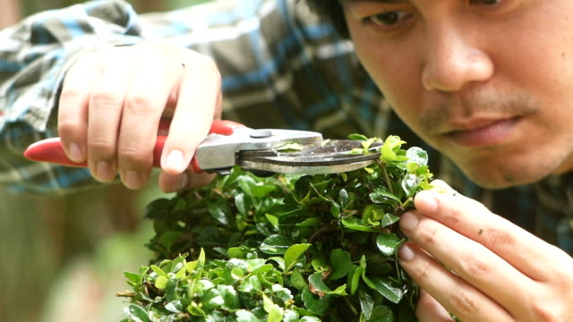 gardener cutting hedge by hedge clipper in the garden - branch plant part stock videos and b-roll footage