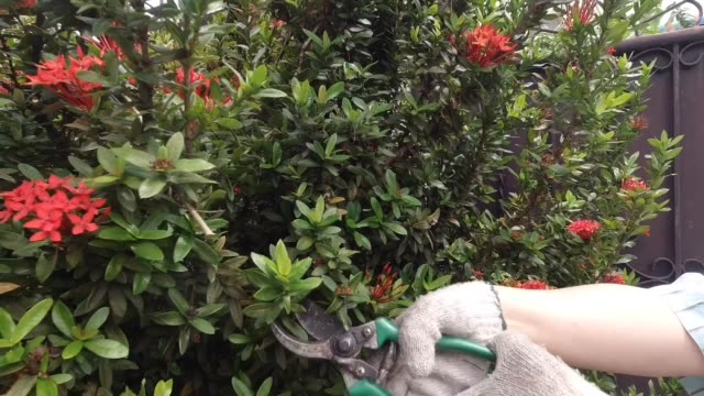 gardener cutting ixora branch in a garden - pruning shears stock videos and b-roll footage