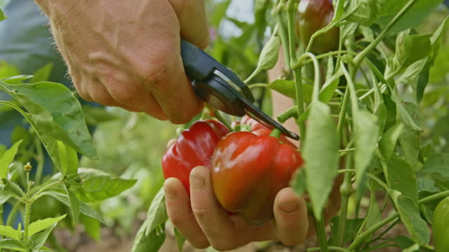 gardener cutting red peppers from the stalk in the garden - pepper vegetable stock videos & royalty-free footage