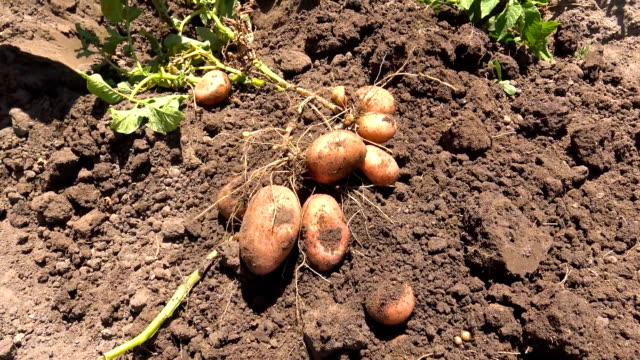 gardener digging organic potatoes - digging stock videos & royalty-free footage