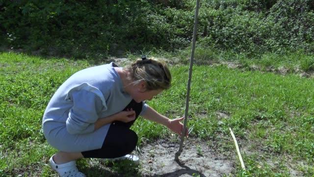 vidéos et rushes de jardinier en examinant le malade pêcher sec - jardin potager