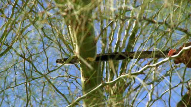 a gardener hacks off a tree branch with a machete in rancho mirage, california. - rancho mirage stock videos & royalty-free footage