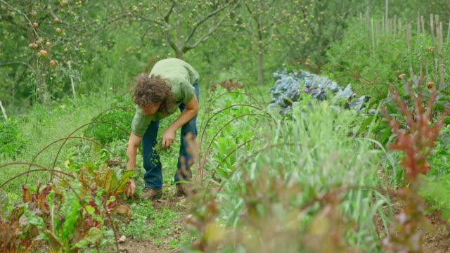 gardener hand weeding his permaculture garden - inarcare la schiena video stock e b–roll