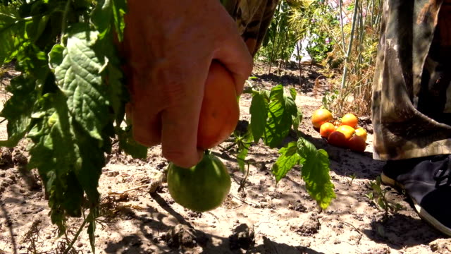vídeos y material grabado en eventos de stock de jardinero cosechar tomates naturales - recoger cosechar