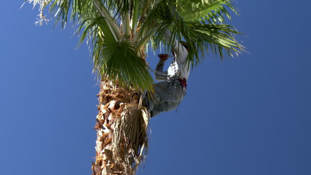 ms zo pan gardener held by chain in palm tree top hacking off palm fronds with machete / rancho mirage, clifornia, united states - rancho mirage stock videos & royalty-free footage