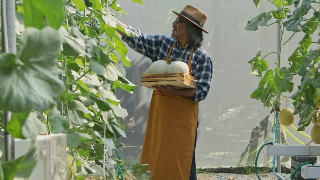 gardener is checking the melon results before harvesting.