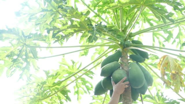 gardener keep ripen papaya - papaya stock videos & royalty-free footage
