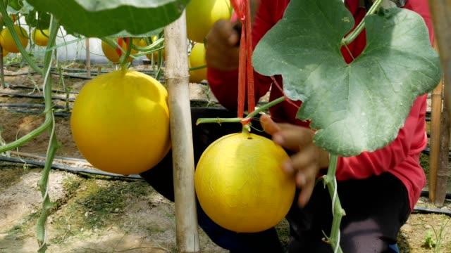 vidéos et rushes de melon de maintien jaune de jardinier - seulement des jeunes hommes