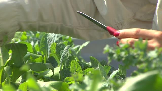 vídeos de stock, filmes e b-roll de gardener picks vegetables and spices from a rooftop garden at uncommon ground restaurant on aug 25 2014 in chicago - característica de construção
