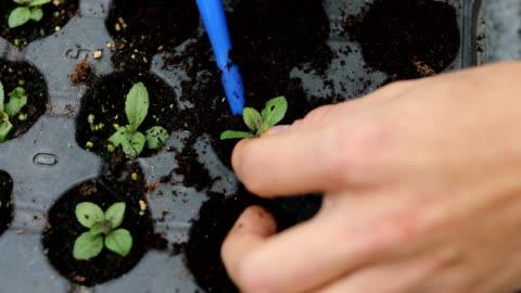 vidéos et rushes de jardinier plantant le microvert dans la ferme organique - culture hydroponique
