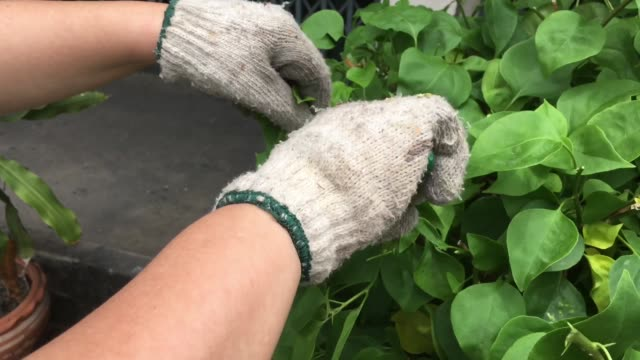 gardener pruning bougainvillea plants in a garden - pruning shears stock videos and b-roll footage