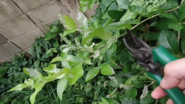 gardener pruning lime tree branches in a garden - pruning shears stock videos and b-roll footage