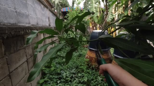 gardener pruning mango tree branches in a garden - pruning shears stock videos and b-roll footage