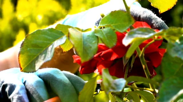 gardener pruning roses with pruning shears - rose stock videos & royalty-free footage