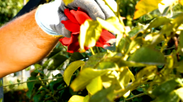 gardener pruning roses with pruning shears - pruning shears stock videos and b-roll footage