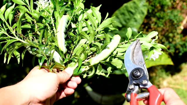 Gardener show branch of tree, Pruning shears and Green caterpillar
