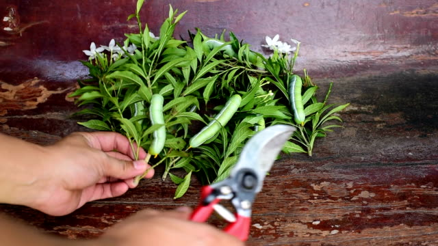 gardener show branch of tree, pruning shears and green caterpillar - pruning shears stock videos and b-roll footage