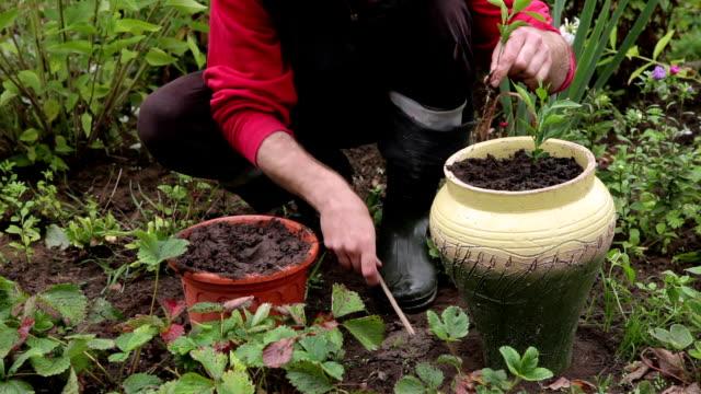 stockvideo's en b-roll-footage met tuinman verplanten mandarijn zaailing - bloembed