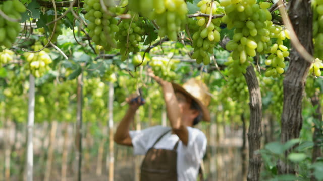 gardener working in grapes garden, the vineyard that has produce for wine production - ridge stock videos & royalty-free footage