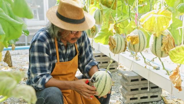 庭師メロンアジアの男性は、メロンガーデン内の顧客に輸出販売のための最高のメロンを選択します, 日本. - グリーンハウス点の映像素材/bロール