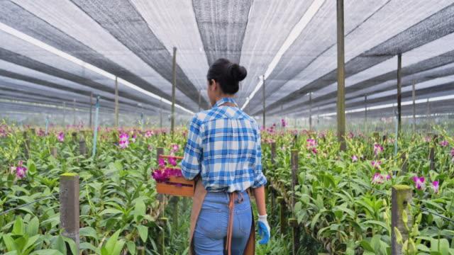 vídeos y material grabado en eventos de stock de jardineros orquídeas mujer asiática son seleccionar las mejores orquídeas para la exportación de ventas a los clientes. - hidropónica