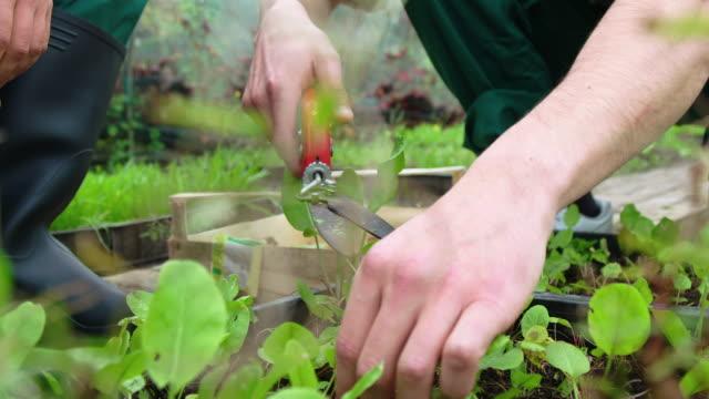 gardeners working in organic farm with pruning shears - centro per il giardinaggio video stock e b–roll