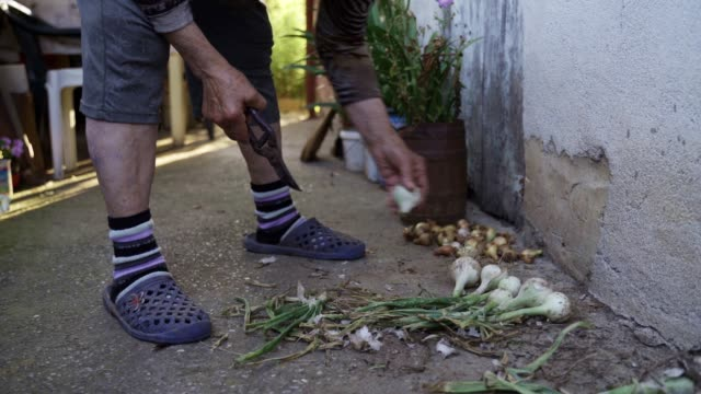 Gardening, Agriculture. Senior Person Cleaning the Onions from the Vegetable garden to prepare them for the winter.
