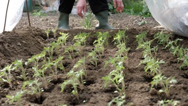 gartenarbeit, landwirtschaft, frühling. seniorenkästen reinigen die seedlings im garten, arbeiten im kultivierten land, gemüsegarten. - pflug stock-videos und b-roll-filmmaterial