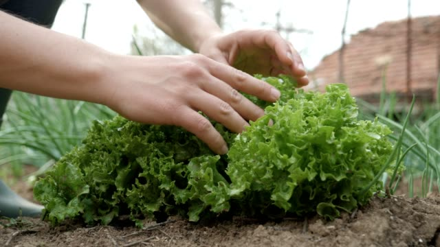 gardening, agriculture, springtime. senior person cleaning the seedlings in the garden, working the cultivated land, vegetable garden. - garden fork stock videos & royalty-free footage