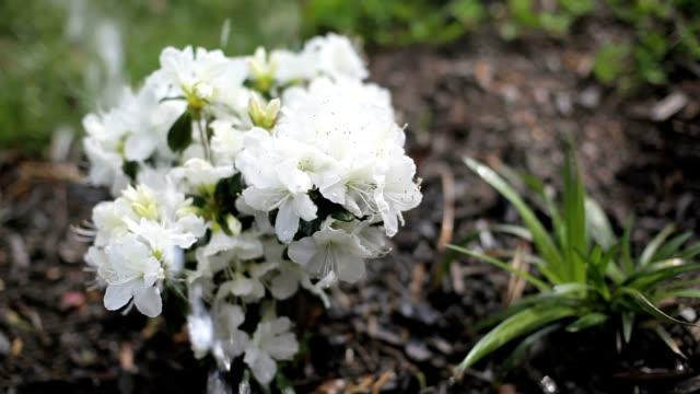 gardening and watering flower in spring - staubblatt stock-videos und b-roll-filmmaterial