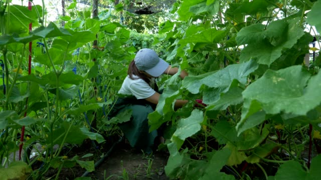 gardening in summer and taking care of the plants. young woman working in the garden, picking up the cucumbers. working in the vegetable garden. - agricultural occupation stock videos & royalty-free footage