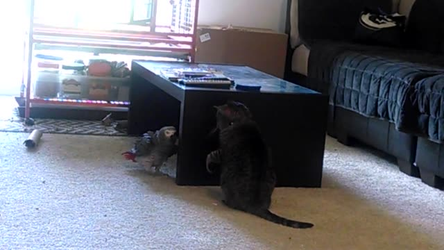 garfield the african grey and sasha the cat enjoy their typical morning game of 'defend the coffee table' garfield tries to outsmart sasha from... - coffee table stock videos & royalty-free footage