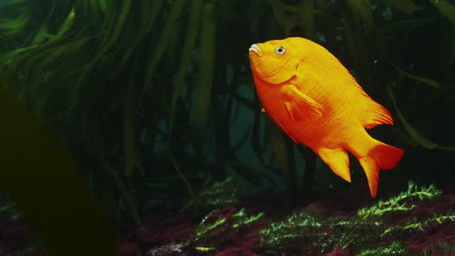 garibaldi damselfish - damselfish stock videos & royalty-free footage