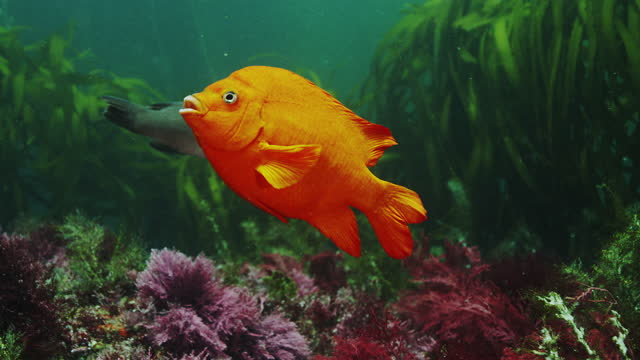 garibaldi damselfish - baja california peninsula stock videos & royalty-free footage
