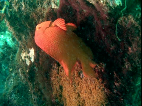 a garibaldi fish flutters around a cluster of eggs. - damselfish stock videos & royalty-free footage