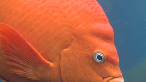 garibaldi fish (hypsypops rubicundus) forages in kelp forest, close  - damselfish stock videos & royalty-free footage
