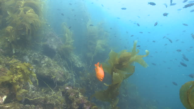 Garibaldi fish (Hypsypops rubicundus) forages in kelp forest, wider