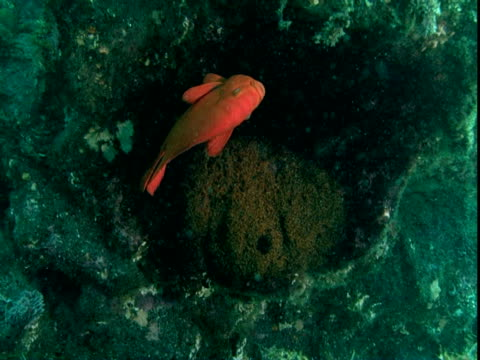 A Garibaldi fish hovers over a cluster of eggs.