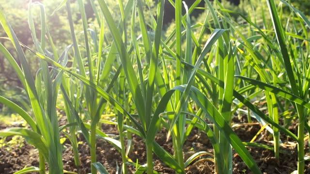 Garlic seedbed in the homemade garden in HD
